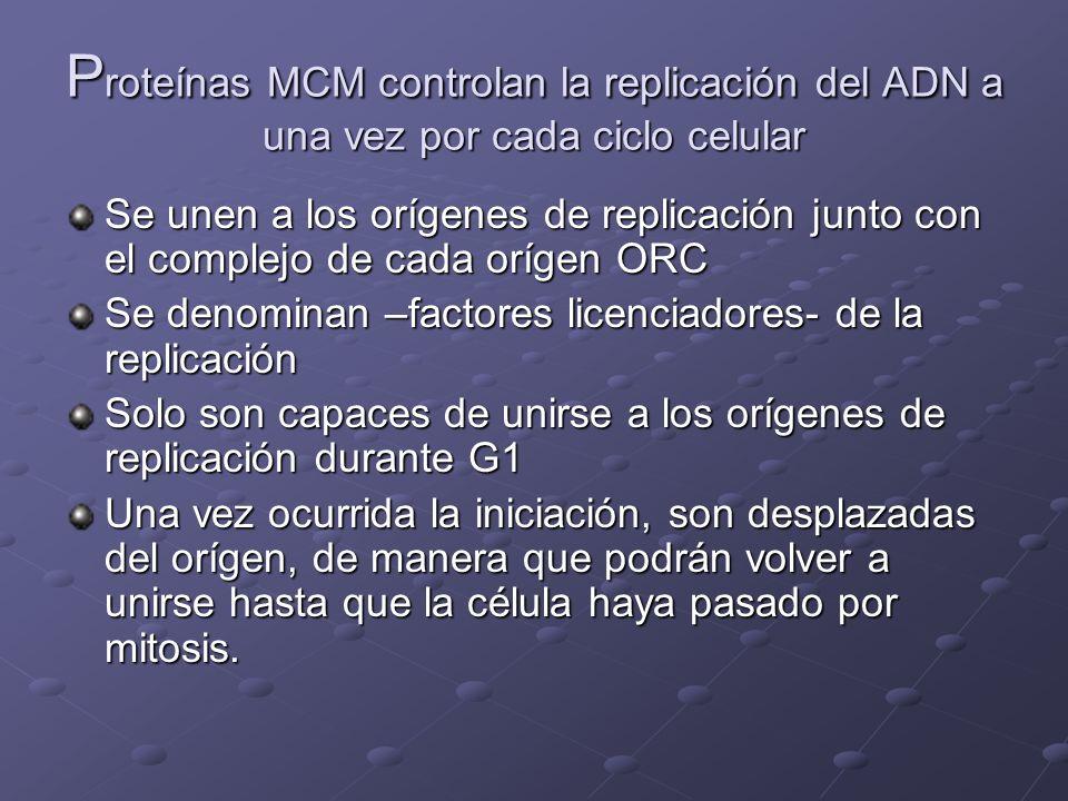 P roteínas MCM controlan la replicación del ADN a una vez por cada ciclo celular Se unen a los orígenes de replicación junto con el complejo de cada o