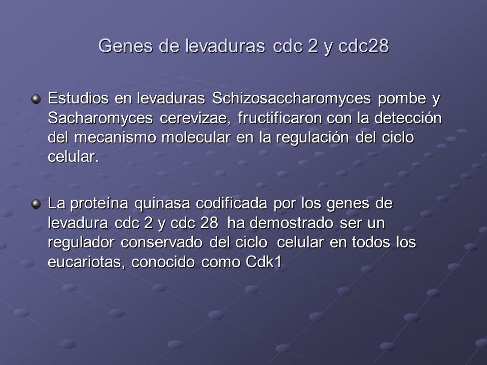 Genes de levaduras cdc 2 y cdc28 Estudios en levaduras Schizosaccharomyces pombe y Sacharomyces cerevizae, fructificaron con la detección del mecanism