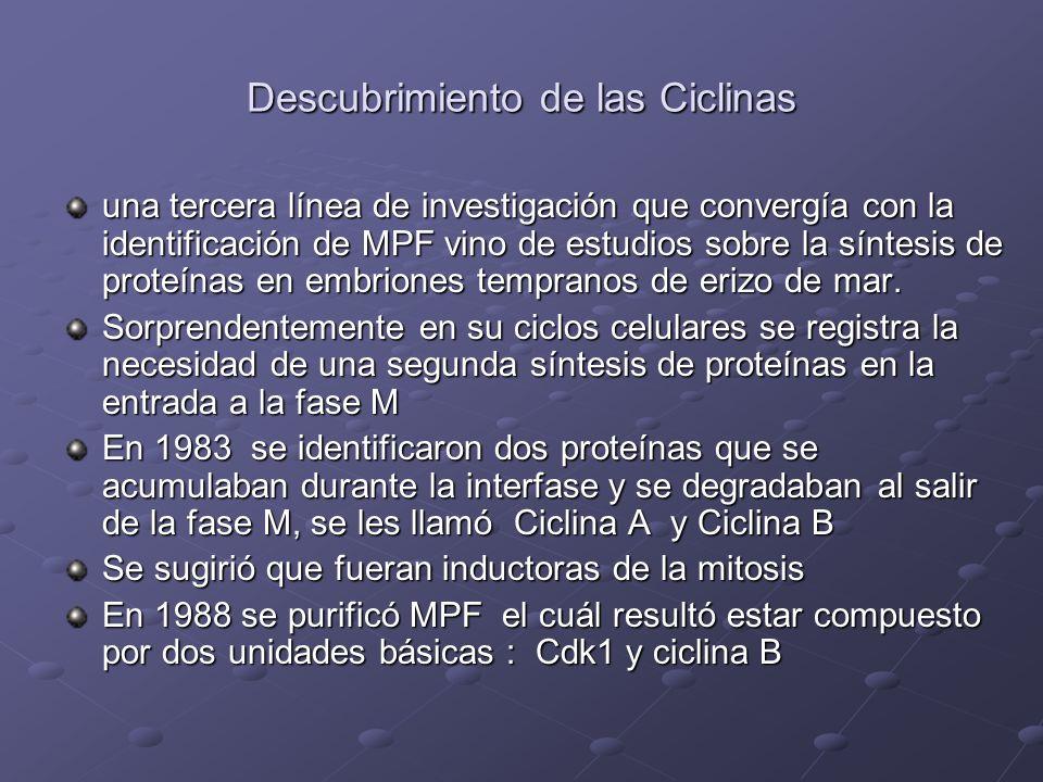 Descubrimiento de las Ciclinas una tercera línea de investigación que convergía con la identificación de MPF vino de estudios sobre la síntesis de pro