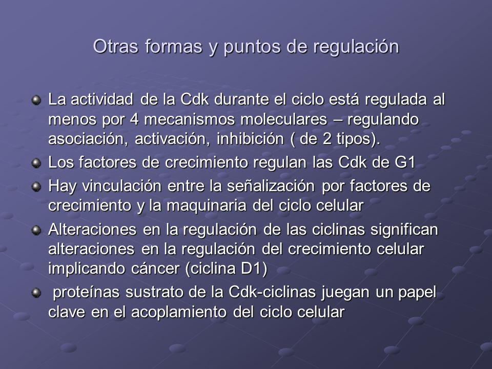 Otras formas y puntos de regulación La actividad de la Cdk durante el ciclo está regulada al menos por 4 mecanismos moleculares – regulando asociación