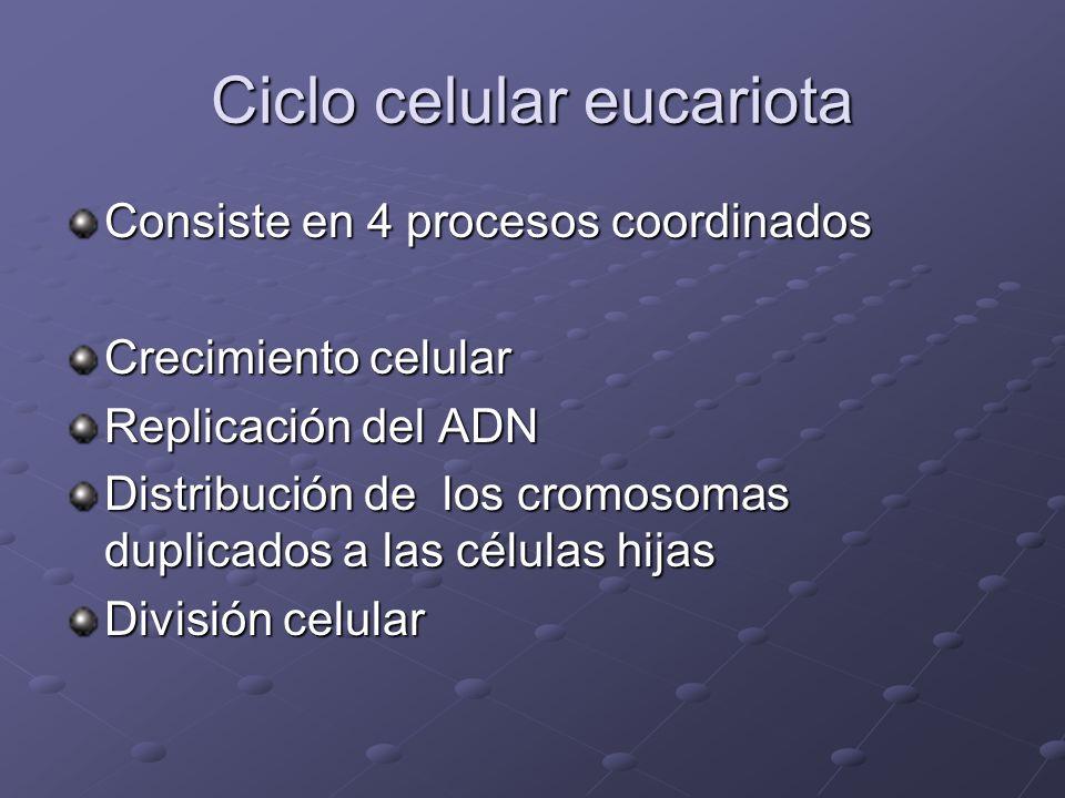 Ciclo celular eucariota Consiste en 4 procesos coordinados Crecimiento celular Replicación del ADN Distribución de los cromosomas duplicados a las cél