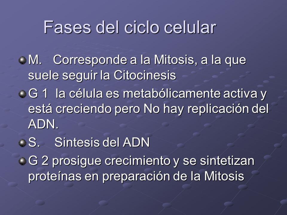 Fases del ciclo celular M. Corresponde a la Mitosis, a la que suele seguir la Citocinesis G 1 la célula es metabólicamente activa y está creciendo per