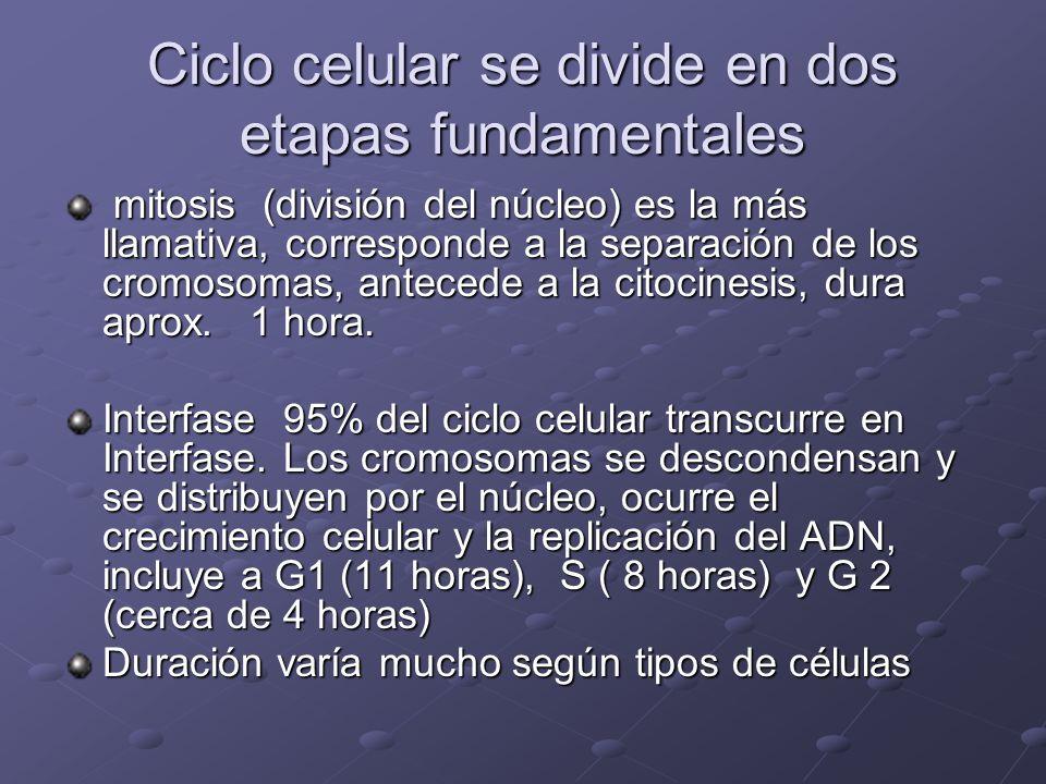 Ciclo celular se divide en dos etapas fundamentales mitosis (división del núcleo) es la más llamativa, corresponde a la separación de los cromosomas,