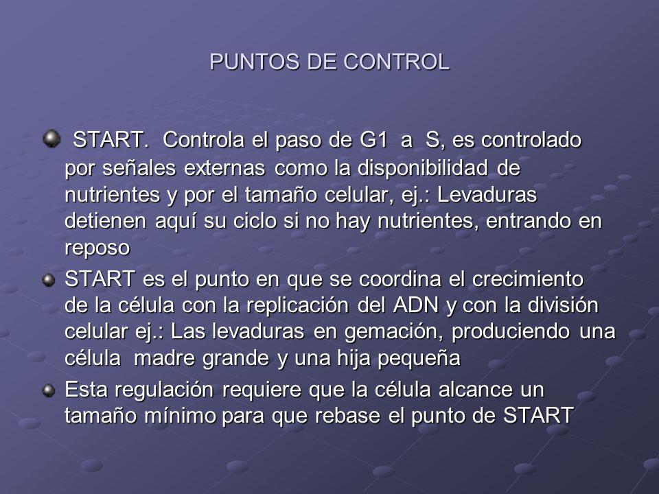 PUNTOS DE CONTROL START. Controla el paso de G1 a S, es controlado por señales externas como la disponibilidad de nutrientes y por el tamaño celular,