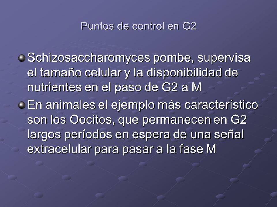 Puntos de control en G2 Schizosaccharomyces pombe, supervisa el tamaño celular y la disponibilidad de nutrientes en el paso de G2 a M En animales el e
