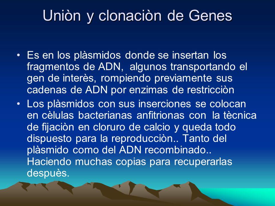 Uniòn y clonaciòn de Genes Es en los plàsmidos donde se insertan los fragmentos de ADN, algunos transportando el gen de interès, rompiendo previamente