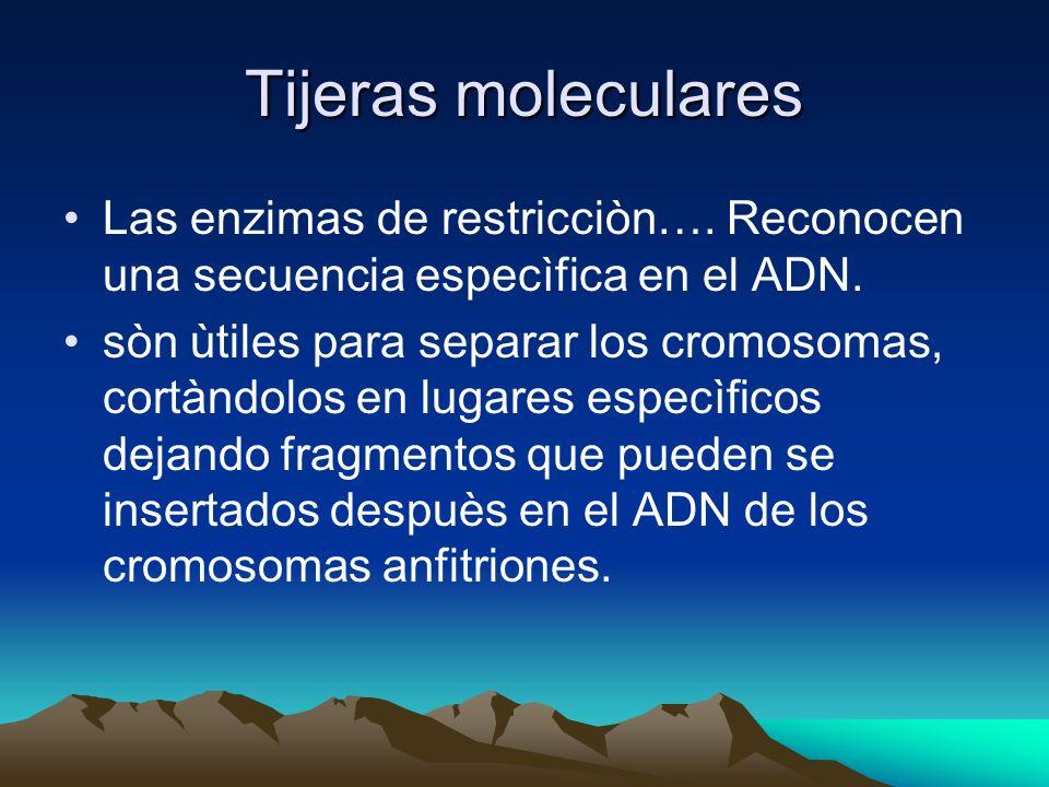 Tijeras moleculares Las enzimas de restricciòn…. Reconocen una secuencia especìfica en el ADN. sòn ùtiles para separar los cromosomas, cortàndolos en