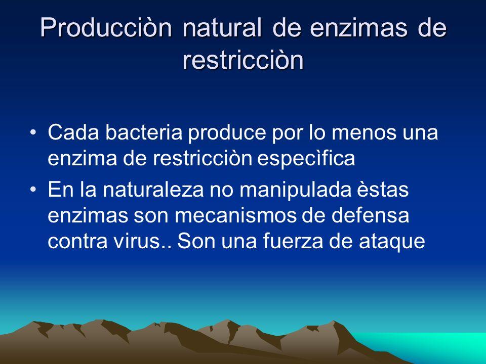 Producciòn natural de enzimas de restricciòn Cada bacteria produce por lo menos una enzima de restricciòn especìfica En la naturaleza no manipulada ès