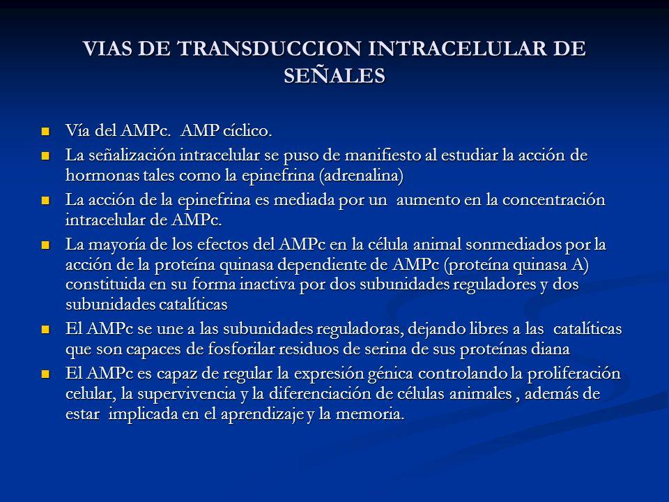 VIAS DE TRANSDUCCION INTRACELULAR DE SEÑALES Vía del AMPc. AMP cíclico. Vía del AMPc. AMP cíclico. La señalización intracelular se puso de manifiesto