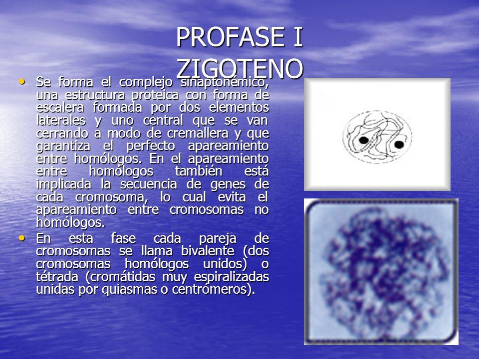 PROFASE I ZIGOTENO Se forma el complejo sinaptonémico, una estructura proteica con forma de escalera formada por dos elementos laterales y uno central