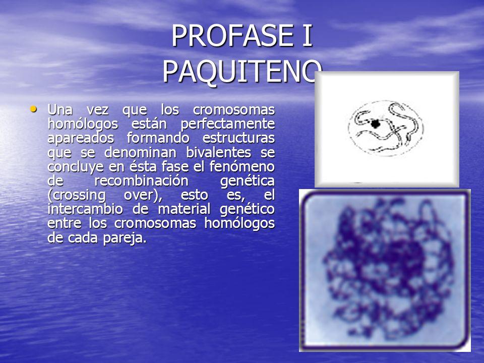 PROFASE I PAQUITENO Una vez que los cromosomas homólogos están perfectamente apareados formando estructuras que se denominan bivalentes se concluye en