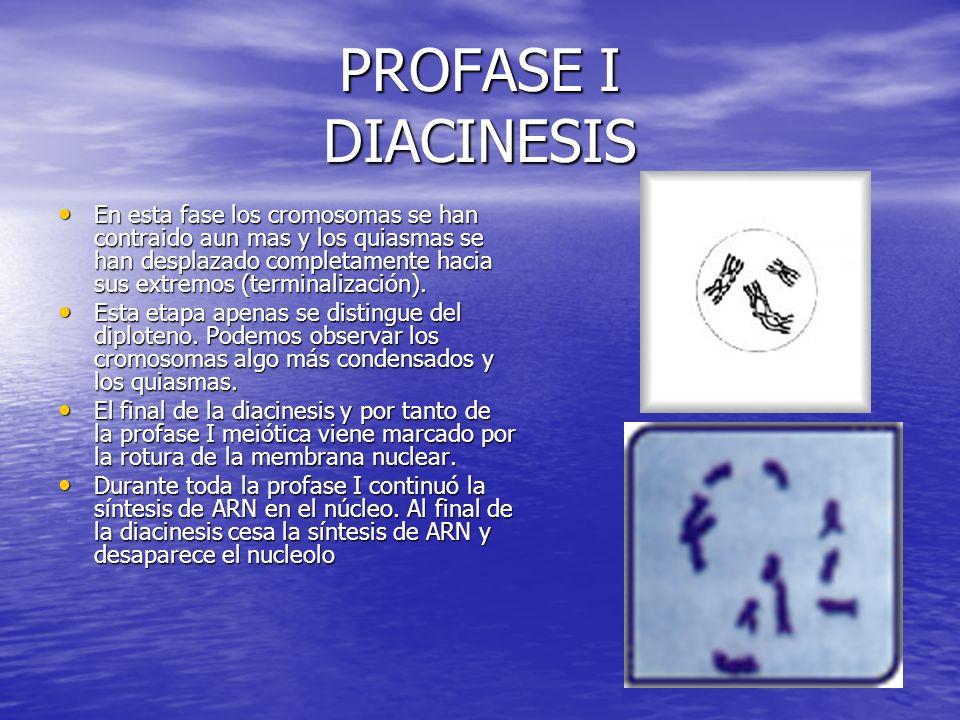 PROFASE I DIACINESIS En esta fase los cromosomas se han contraido aun mas y los quiasmas se han desplazado completamente hacia sus extremos (terminali