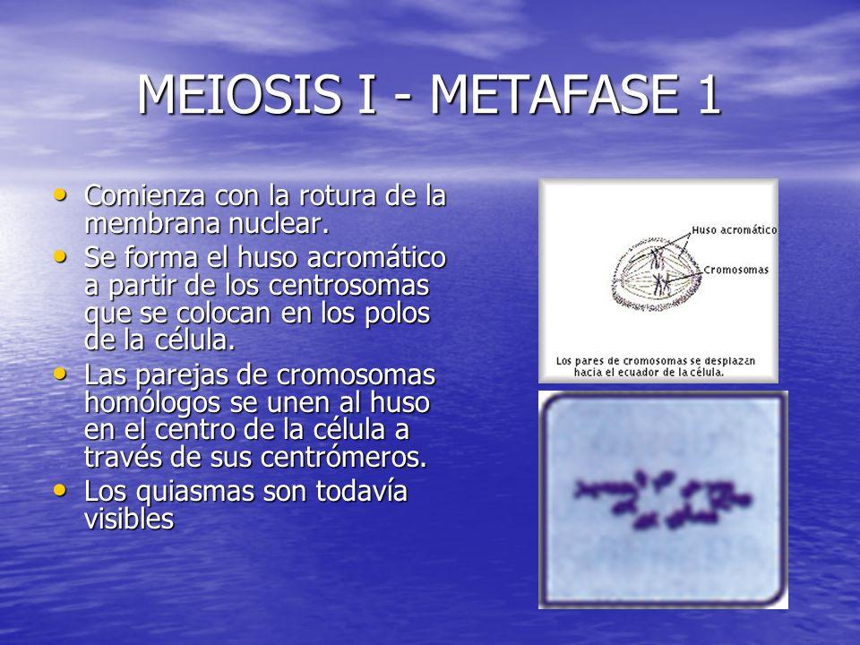 MEIOSIS I - METAFASE 1 Comienza con la rotura de la membrana nuclear. Comienza con la rotura de la membrana nuclear. Se forma el huso acromático a par