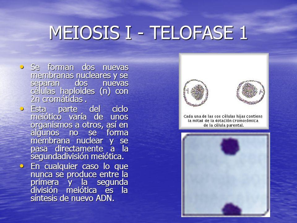 MEIOSIS I - TELOFASE 1 Se forman dos nuevas membranas nucleares y se separan dos nuevas células haploides (n) con 2n cromátidas. Se forman dos nuevas