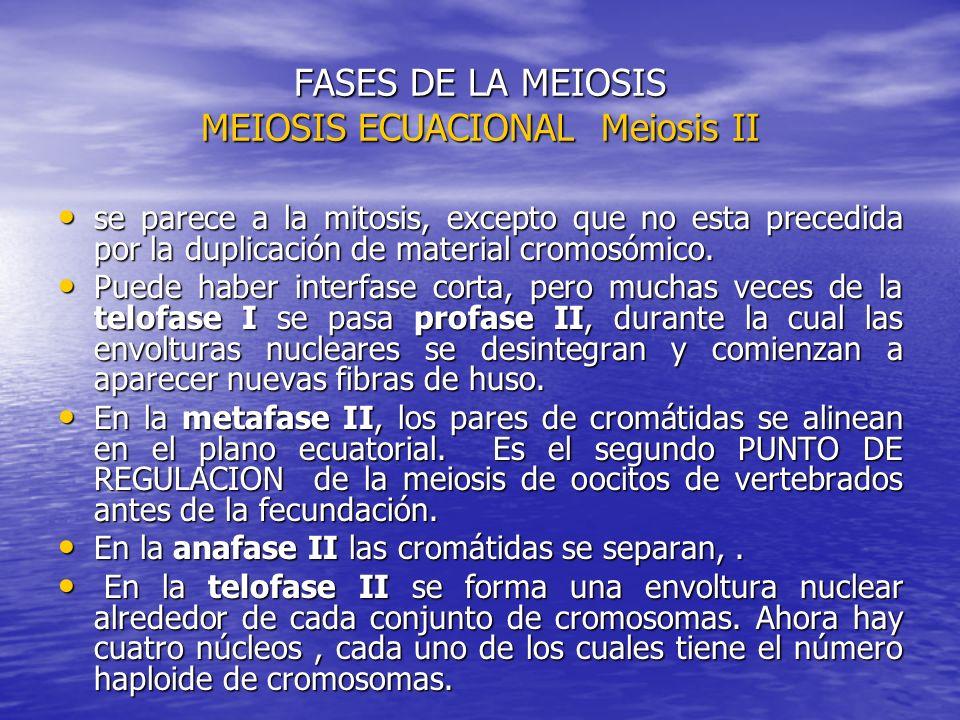FASES DE LA MEIOSIS MEIOSIS ECUACIONAL Meiosis II se parece a la mitosis, excepto que no esta precedida por la duplicación de material cromosómico. se