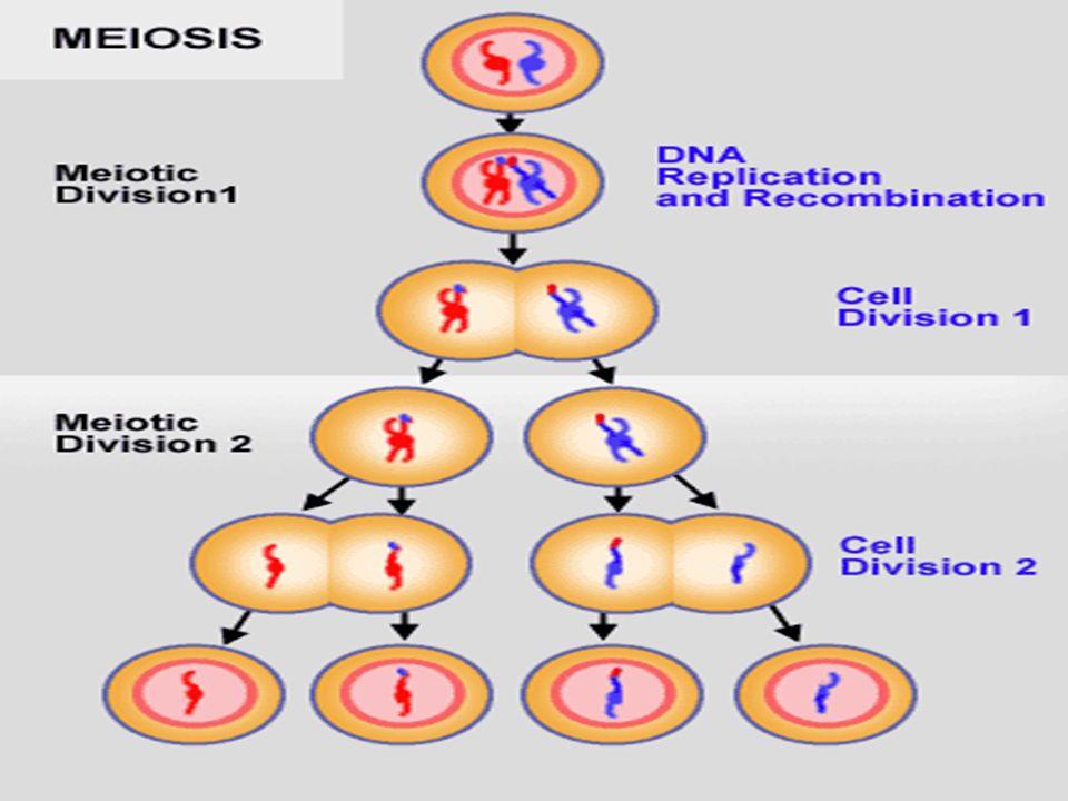 MEIOSIS I - METAFASE 1 Comienza con la rotura de la membrana nuclear.