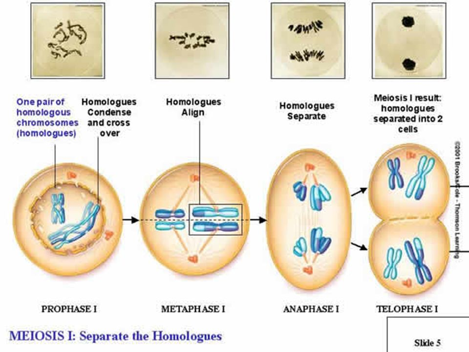 FASES DE LA MEIOSIS MEIOSIS ECUACIONAL Meiosis II se parece a la mitosis, excepto que no esta precedida por la duplicación de material cromosómico.