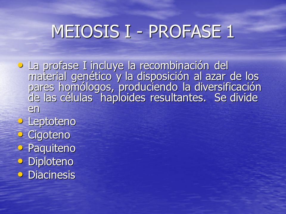 MEIOSIS I - PROFASE 1 La profase I incluye la recombinación del material genético y la disposición al azar de los pares homólogos, produciendo la dive