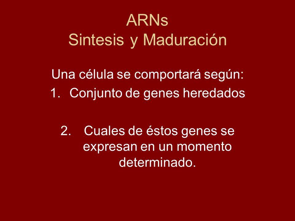 ARNs Sintesis y Maduración Una célula se comportará según: 1.Conjunto de genes heredados 2. Cuales de éstos genes se expresan en un momento determinad