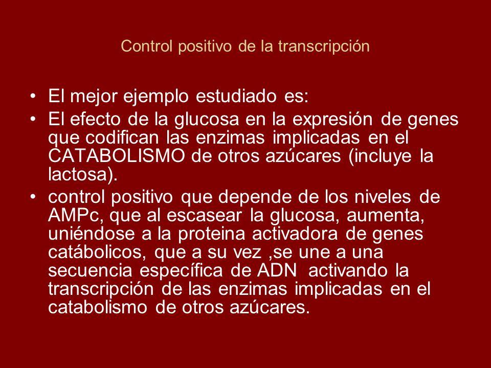 Control positivo de la transcripción El mejor ejemplo estudiado es: El efecto de la glucosa en la expresión de genes que codifican las enzimas implica