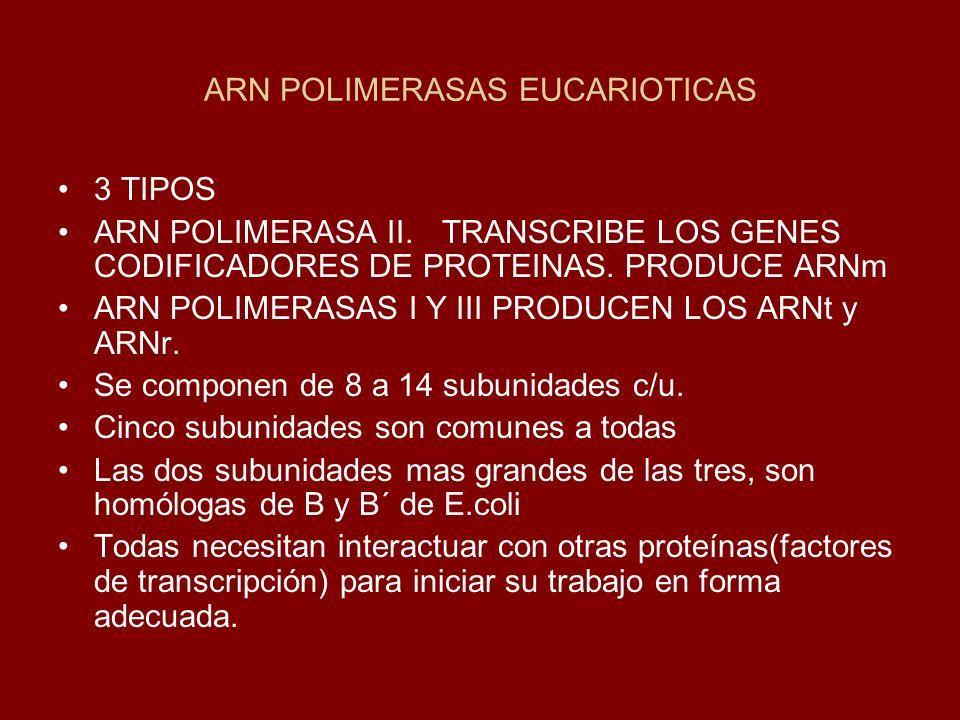 ARN POLIMERASAS EUCARIOTICAS 3 TIPOS ARN POLIMERASA II.TRANSCRIBE LOS GENES CODIFICADORES DE PROTEINAS. PRODUCE ARNm ARN POLIMERASAS I Y III PRODUCEN