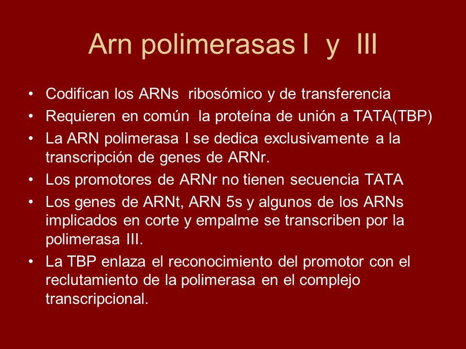 Arn polimerasas I y III Codifican los ARNs ribosómico y de transferencia Requieren en común la proteína de unión a TATA(TBP) La ARN polimerasa I se de