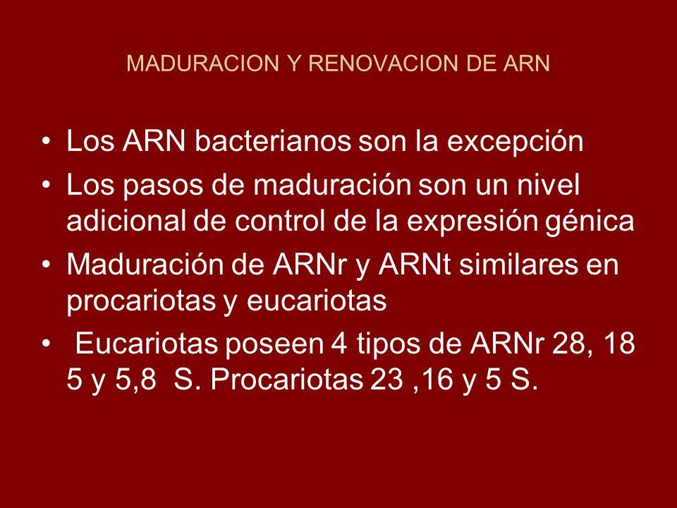 MADURACION Y RENOVACION DE ARN Los ARN bacterianos son la excepción Los pasos de maduración son un nivel adicional de control de la expresión génica M