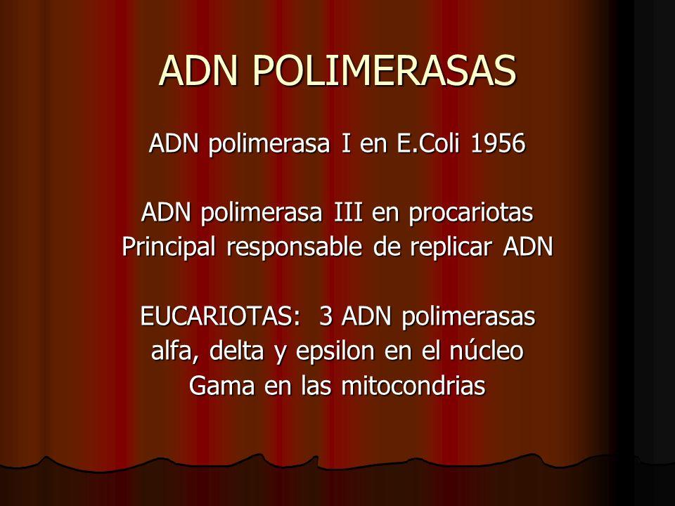 ADN POLIMERASAS ADN polimerasa I en E.Coli 1956 ADN polimerasa III en procariotas Principal responsable de replicar ADN EUCARIOTAS: 3 ADN polimerasas