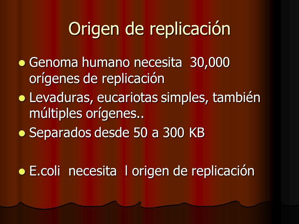 Origen de replicación Genoma humano necesita 30,000 orígenes de replicación Genoma humano necesita 30,000 orígenes de replicación Levaduras, eucariota