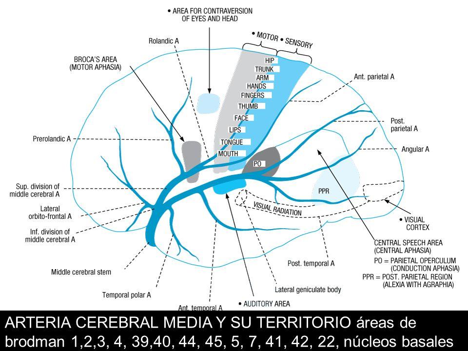 ARTERIA CEREBRAL MEDIA Y SU TERRITORIO áreas de brodman 1,2,3, 4, 39,40, 44, 45, 5, 7, 41, 42, 22, núcleos basales