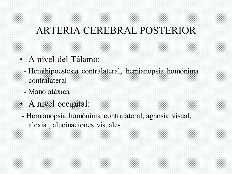 ARTERIA CEREBRAL POSTERIOR A nivel del Tálamo: - Hemihipoestesia contralateral, hemianopsia homónima contralateral - Mano atáxica A nivel occipital: -