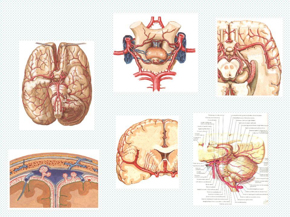 ARTERIA CAROTIDA INTERNA Puede ser asintomática o producir amaurosis fugaz Cuadro oclusivo - Hemiplejia directa contralateral - Hemihipoestesia contralateral - Hemianopsia homónima contralateral
