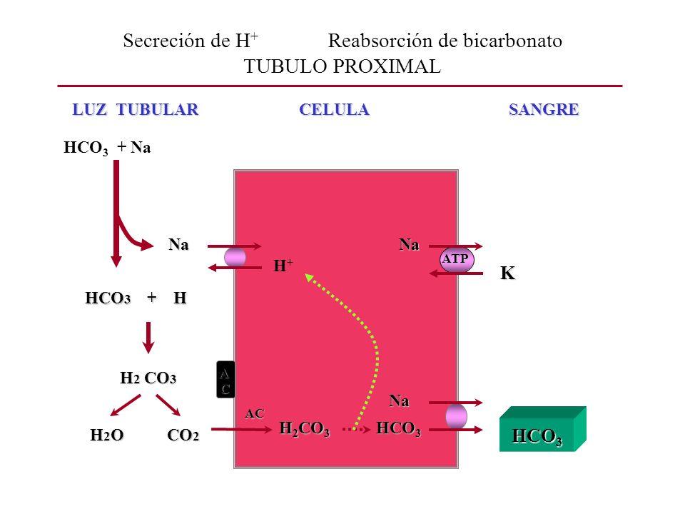 Secreción de H + Reabsorción de bicarbonato TUBULO PROXIMAL LUZ TUBULAR CELULA SANGRE LUZ TUBULAR CELULA SANGRE ATP NaNa K A C H 2 CO 3 H 2 O CO 2 H 2