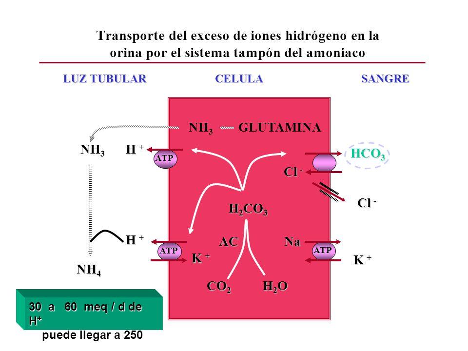 LUZ TUBULAR CELULA SANGRE CO 2 H 2 O H 2 CO 3 H 2 CO 3 HCO 3 ATP H + Cl - Cl - ATP Na K + K + H + K + K + ATP AC AC Cl - Cl - NH 3 GLUTAMINA NH 3 NH 4