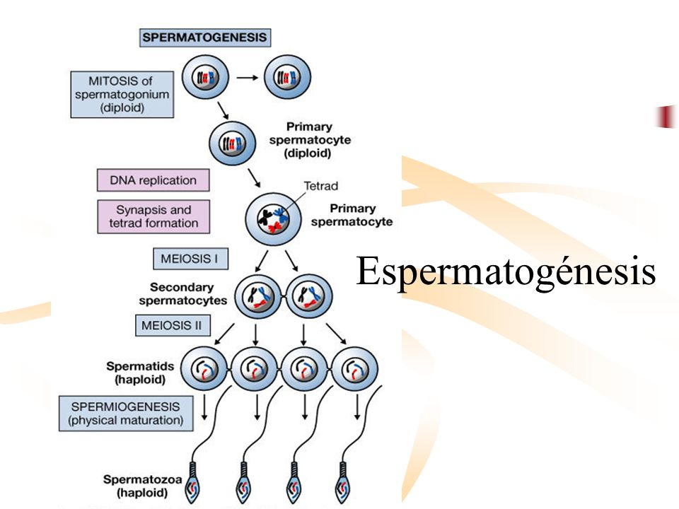 Dr. Pedro G. Cabrera J. Espermatogénesis