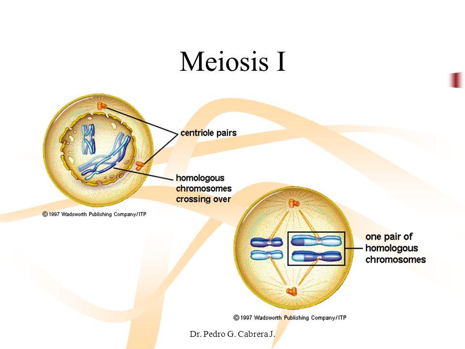 Dr. Pedro G. Cabrera J. Meiosis I