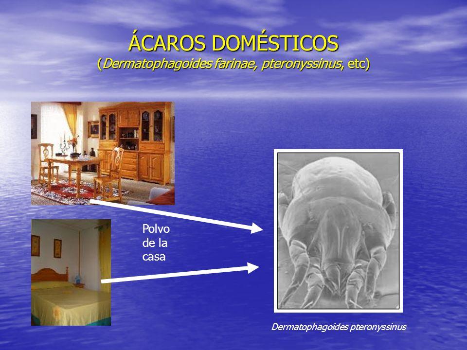 ÁCAROS DOMÉSTICOS (Dermatophagoides farinae, pteronyssinus, etc) Dermatophagoides pteronyssinus Polvo de la casa