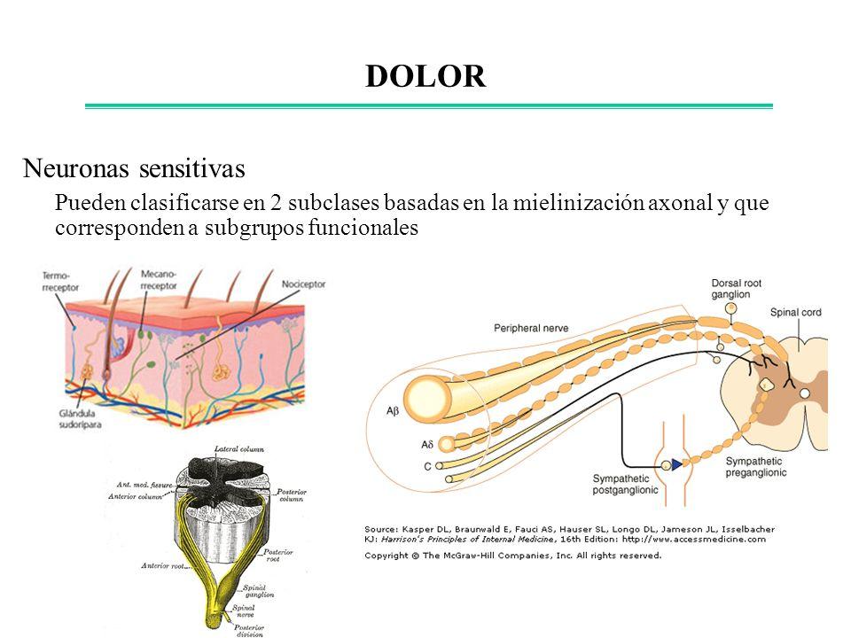 Neuronas sensitivas Pueden clasificarse en 2 subclases basadas en la mielinización axonal y que corresponden a subgrupos funcionales DOLOR