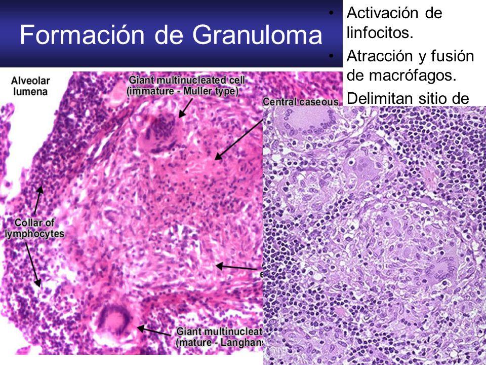 Formación de Granuloma Activación de linfocitos. Atracción y fusión de macrófagos. Delimitan sitio de fagocitosis (células epitelioides)