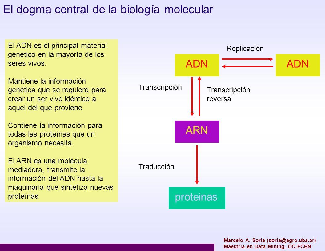 Marcelo A. Soria (soria@agro.uba.ar) Maestria en Data Mining. DC-FCEN El dogma central de la biología molecular ADN Replicación ARN Transcripción reve