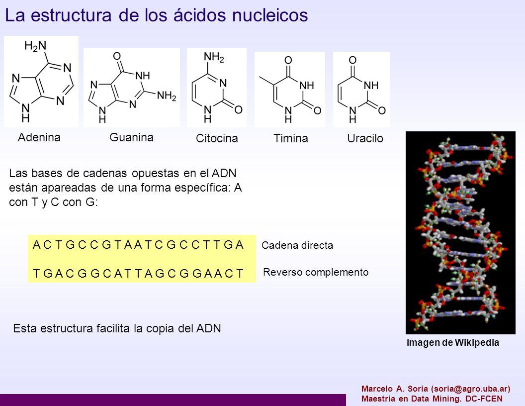 Marcelo A. Soria (soria@agro.uba.ar) Maestria en Data Mining. DC-FCEN La estructura de los ácidos nucleicos Las bases de cadenas opuestas en el ADN es