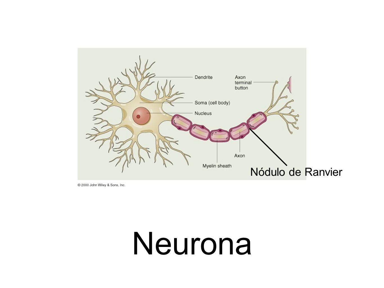Neurona Nódulo de Ranvier
