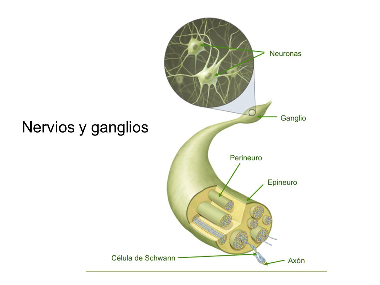 Nervios y ganglios