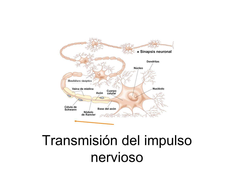 Transmisión del impulso nervioso Hendidura sináptica
