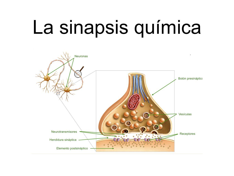La sinapsis química