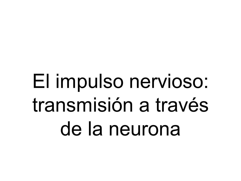 El impulso nervioso: transmisión a través de la neurona