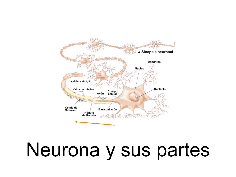 Neurona y sus partes Hendidura sináptica