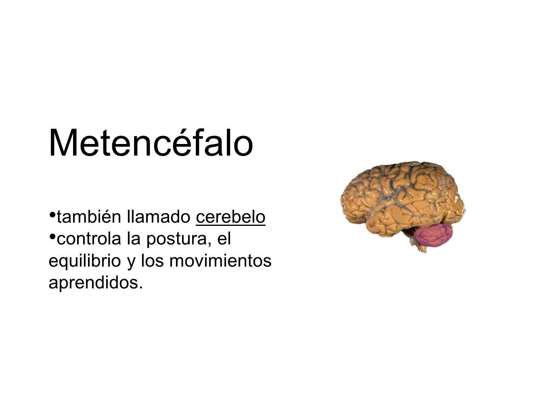Metencéfalo también llamado cerebelo controla la postura, el equilibrio y los movimientos aprendidos.