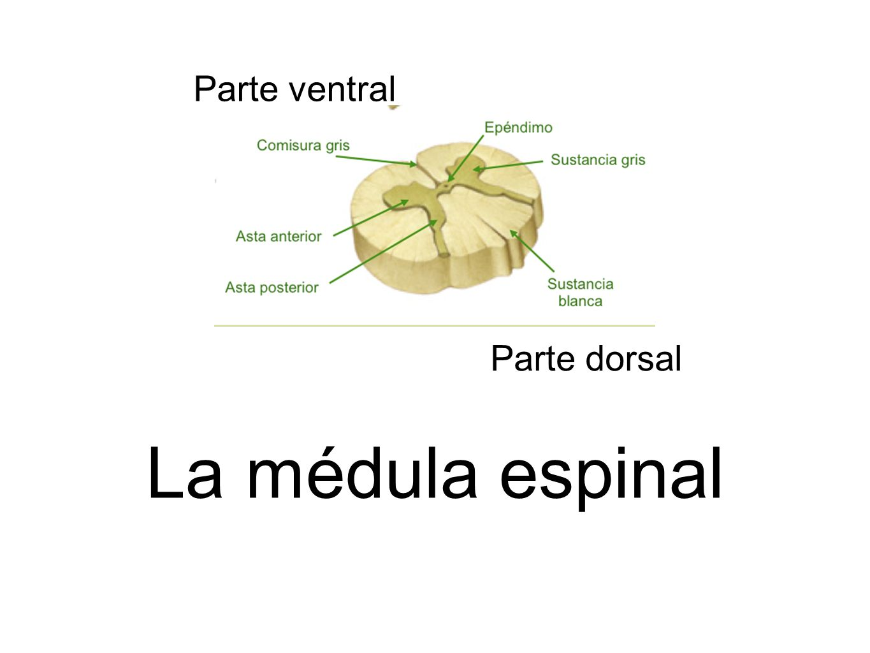 Parte dorsal Parte ventral