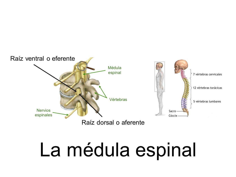 La médula espinal Raíz dorsal o aferente Raíz ventral o eferente
